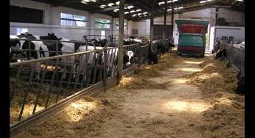 Zdjęcie przedstawia krowy w oborze u Państwa Jolanty i Grzegorz Bara z Gręboszowa